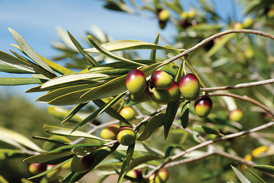 benguela-cove-olive-branch.jpg