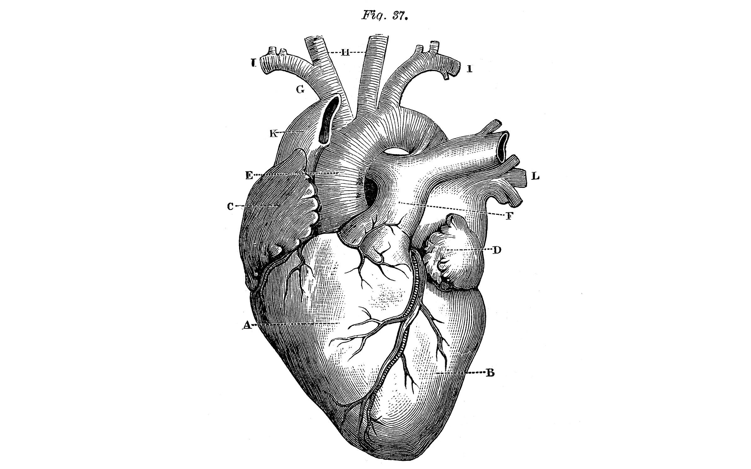 Heart Medical Illustration