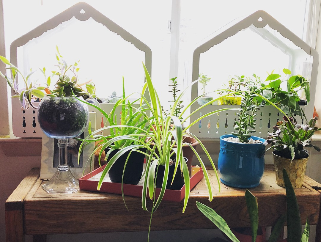 My super thoughtful boyfriend got me two indoor greenhouses from Ikea. He knows I am obsessed with plants and also noticed our plant corner keeps growing every time I go to my mom's house. I love looking at them in the evening as the dusk pears over the wall in front of our apartment.