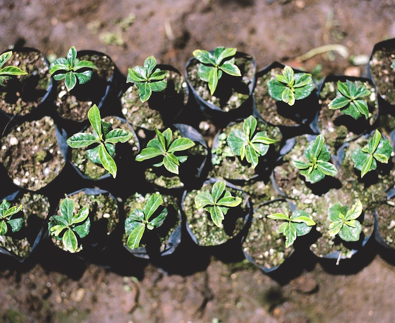 Geisha seedlings