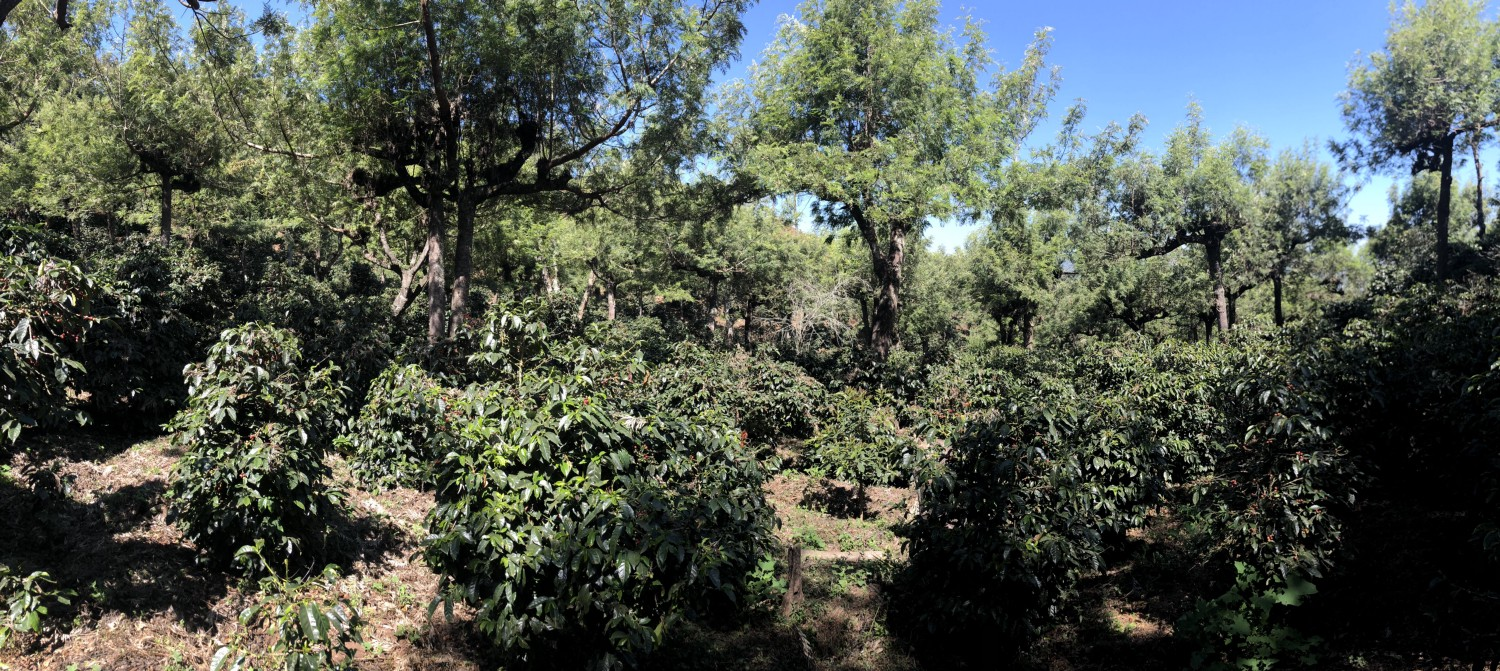Red Bourbon growing in shade at 1900 masl. We served coffee from these trees in 2017