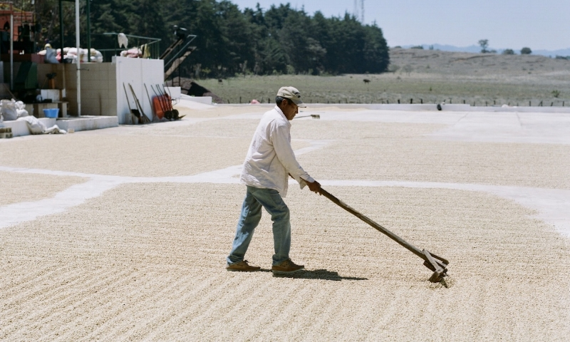 Raking parchment coffee to dry on the largest of two patios at Finca Catalan.