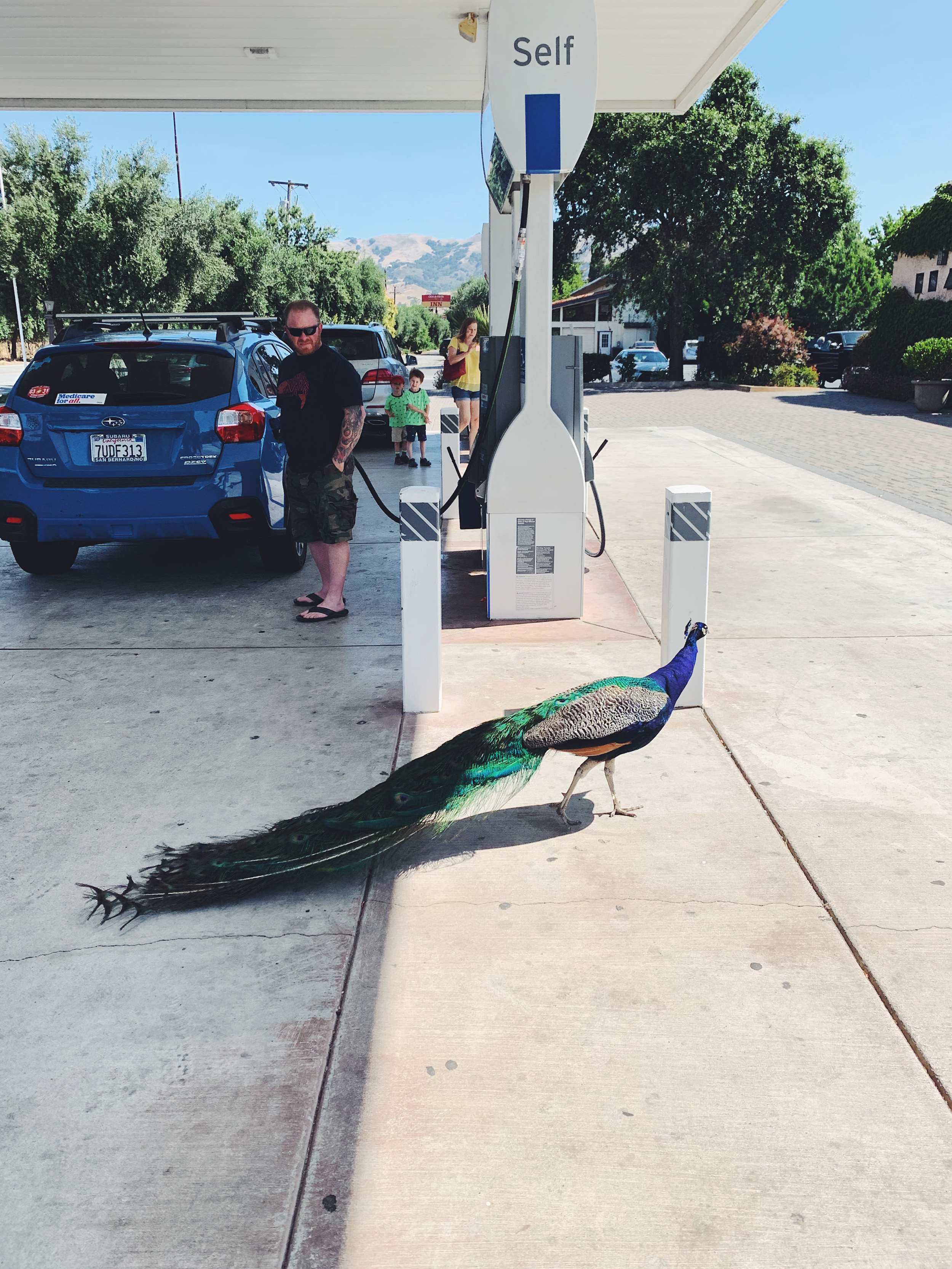 Nothing, just a peacock walking by while refueling the car.