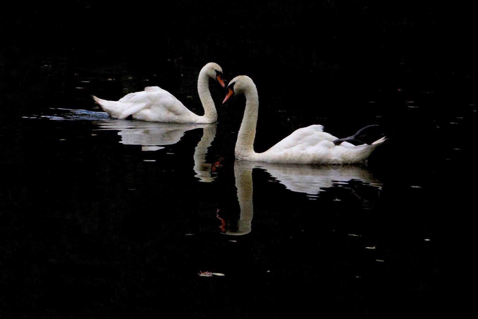 IMG_6702_two_swans.jpg