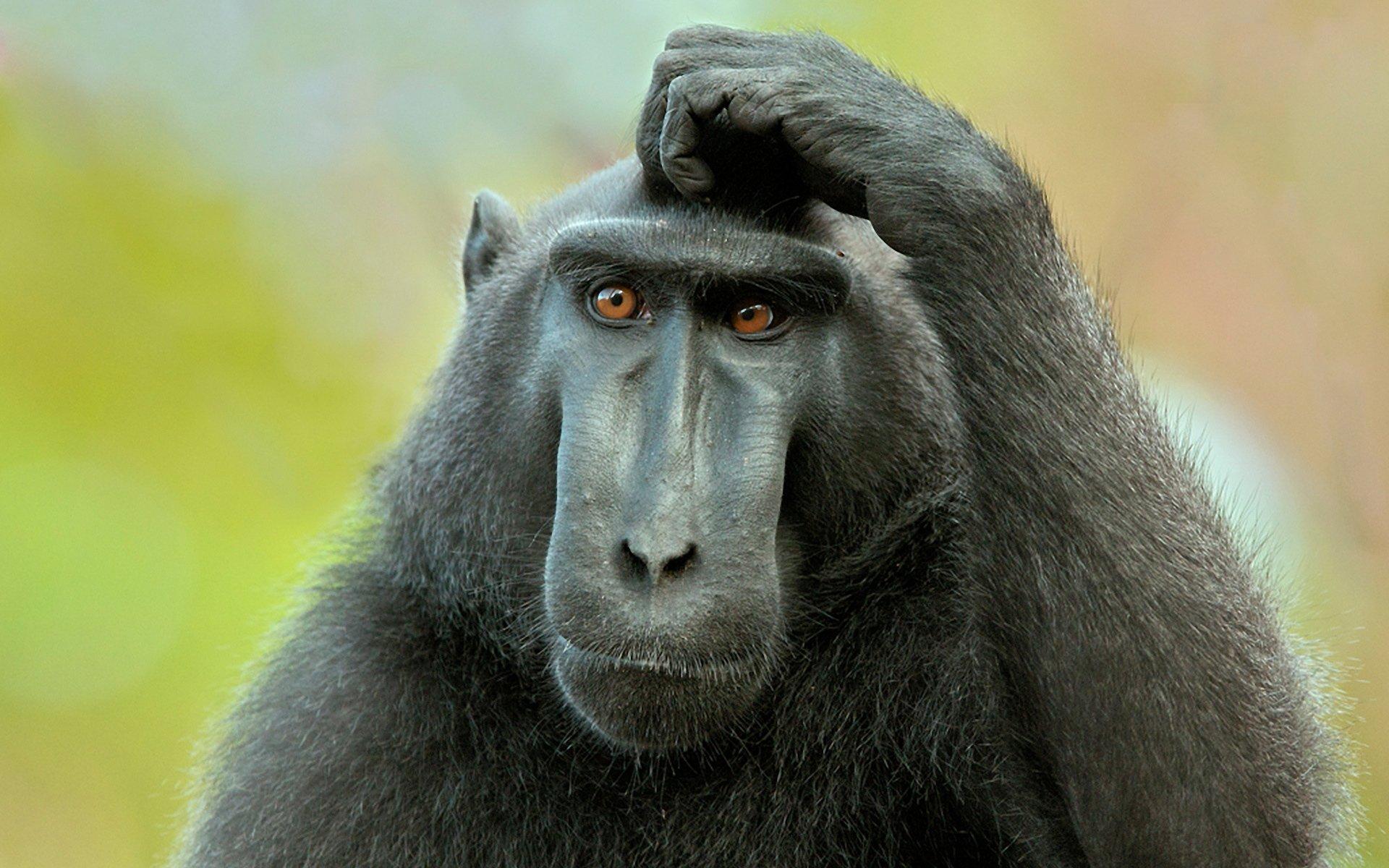 wallpaper-scratchi-desktop-monkey-sstorage-puzzled-image.jpg
