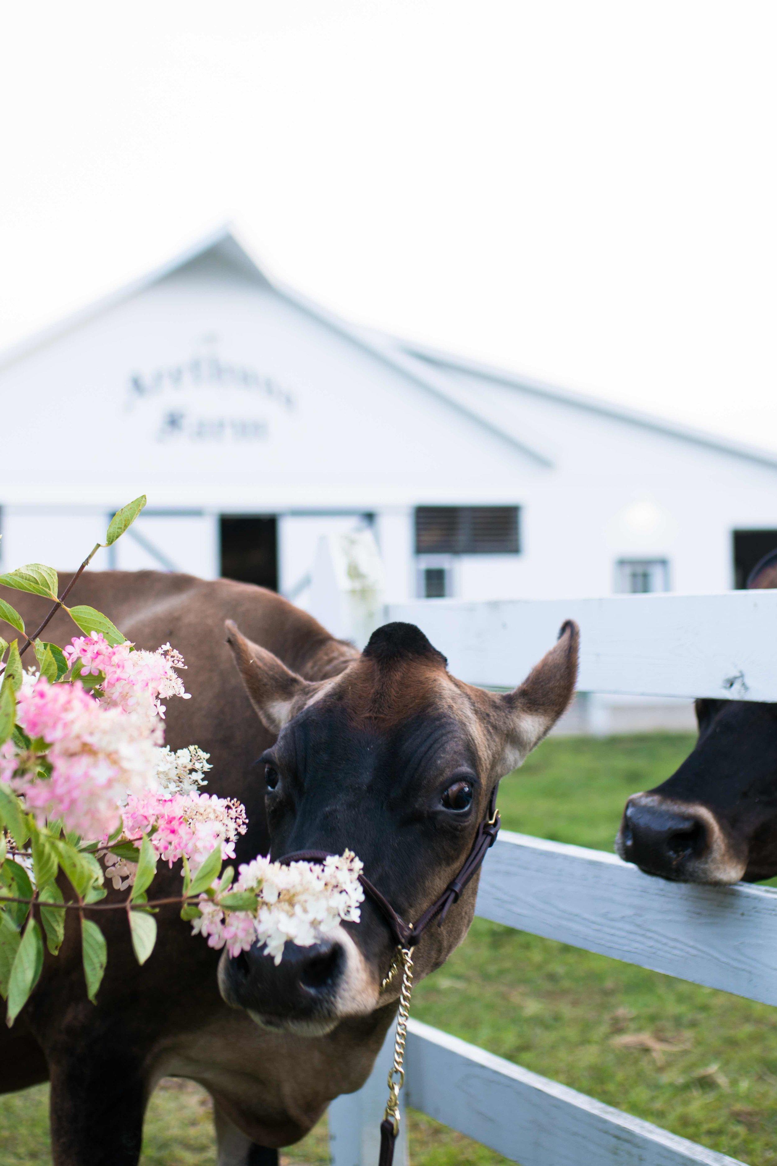 Jersey Cow Arethusa Farm