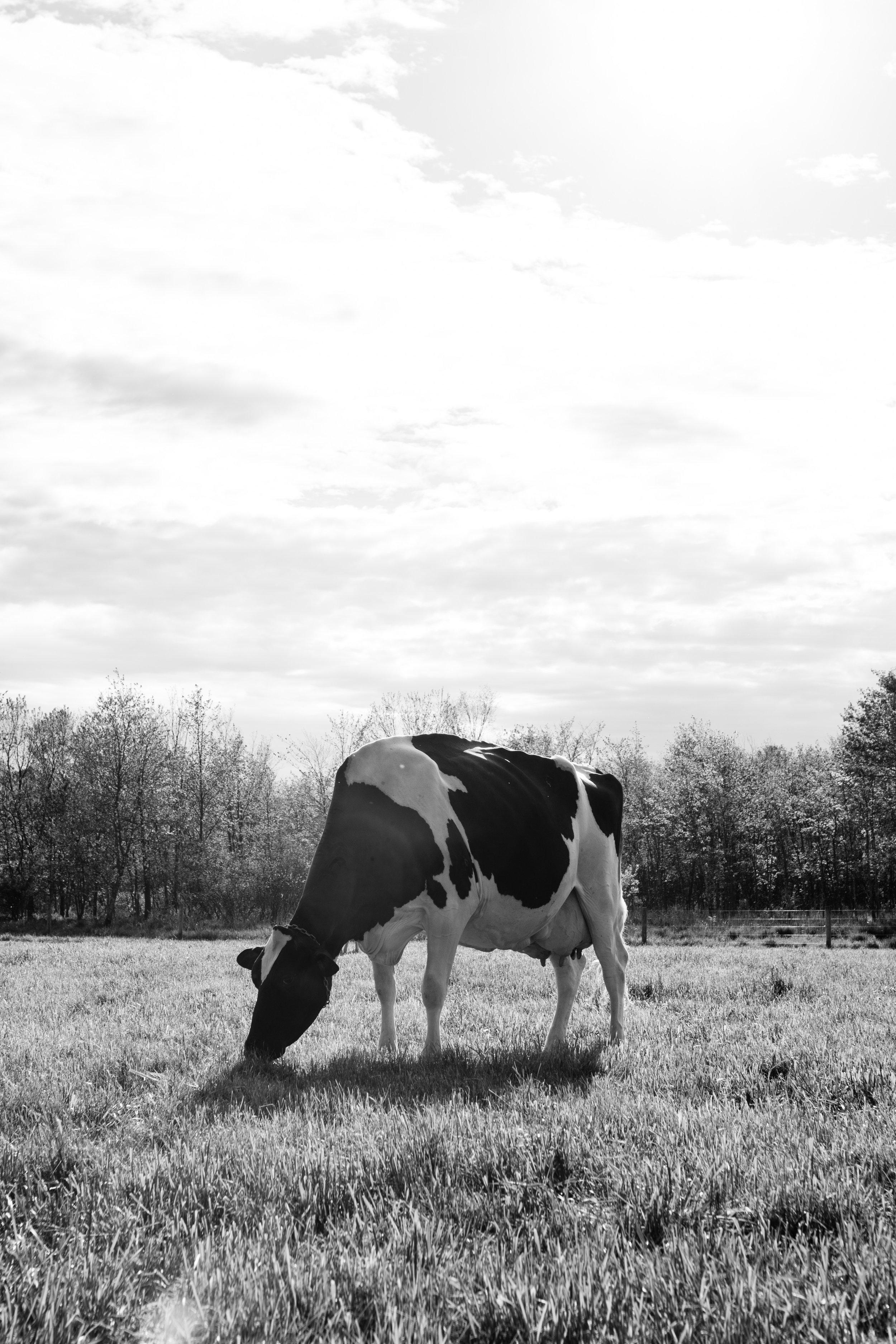 Holstein Arethusa Farm
