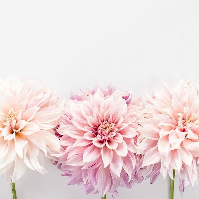 darling dahlias