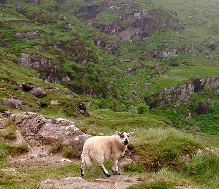 Sheep, Co. Kerry