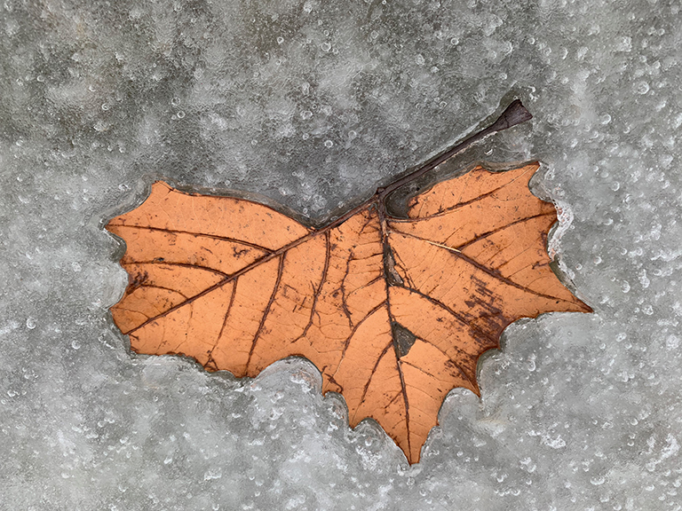 Frozen Maple Leaf 1