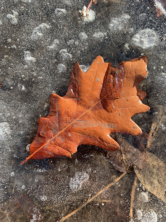 Frozen Oak Leaf