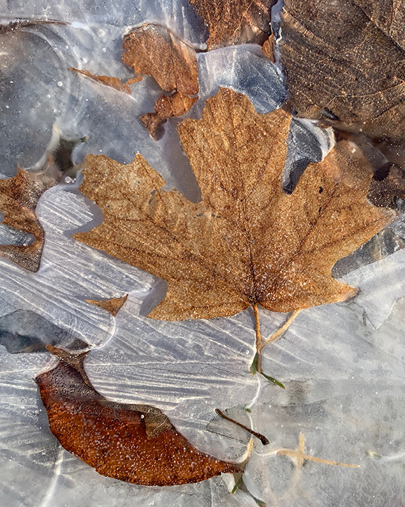 Frozen Maple Leaf 3