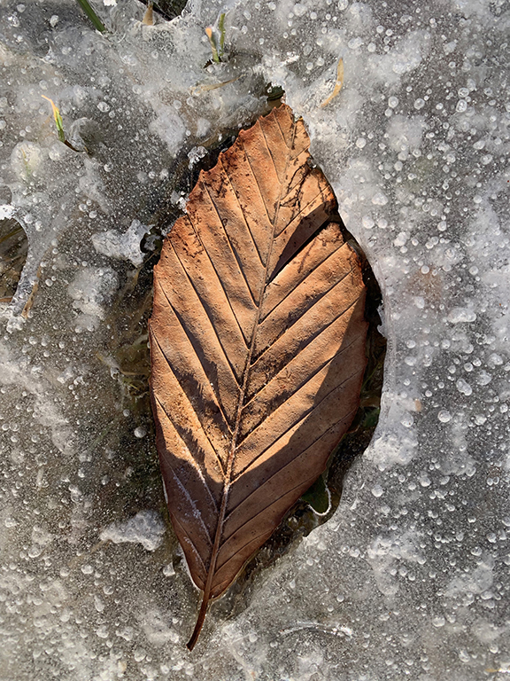 Frozen Beech Leaf 1