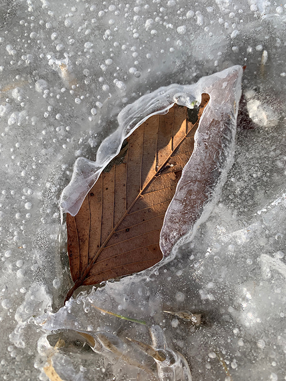 Frozen Beech Leaf 2