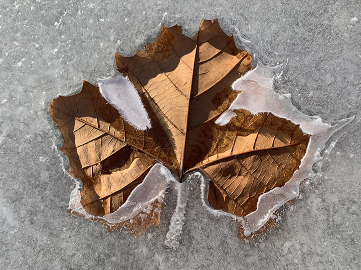 Frozen Maple Leaf 5