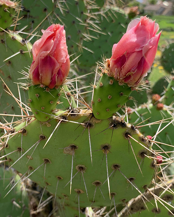 Prickly Pear Double Flower