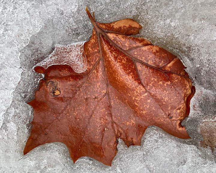 Frozen Maple Carmel
