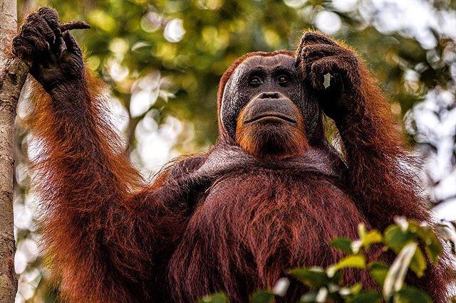 Think carefully. - #animal #worldtraveller #beautiful #animals #cute #cuteanimals #monkey #orangutan #forest #amazing #photography #photooftheday #photoshoot #photographer #pictures #picoftheday #loveit #lovely #beauty #sweet #like #followme #followus #like4like #likeforfollow #follow #canada #usa #nyc #chicago