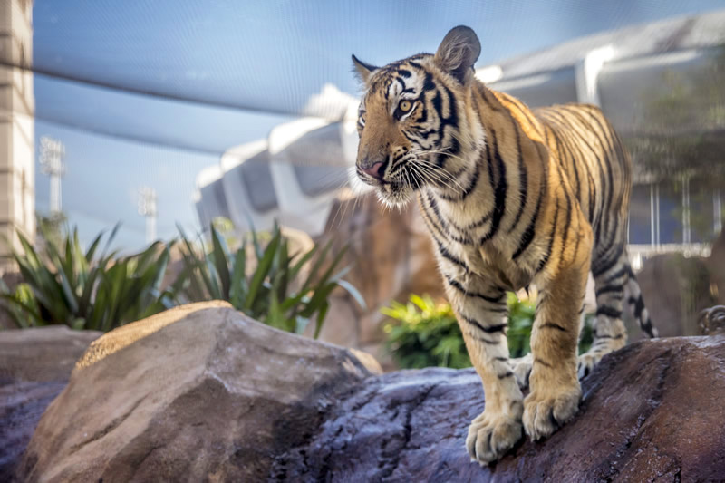 Mike VII's first day at LSU - August 21, 2017.