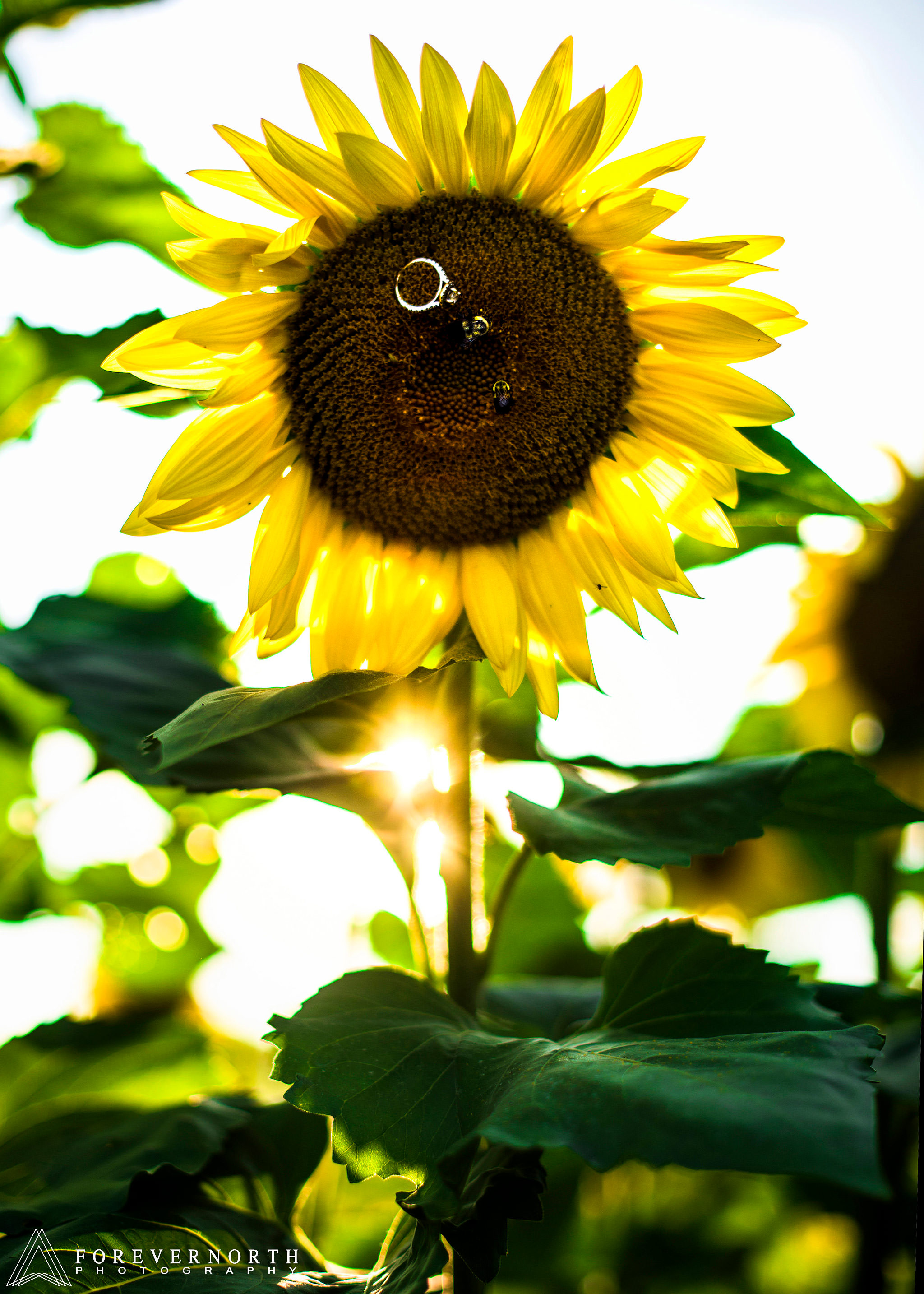 Ennis-Sussex-Sunflower-Maze-Engagement-Photos-07.JPG