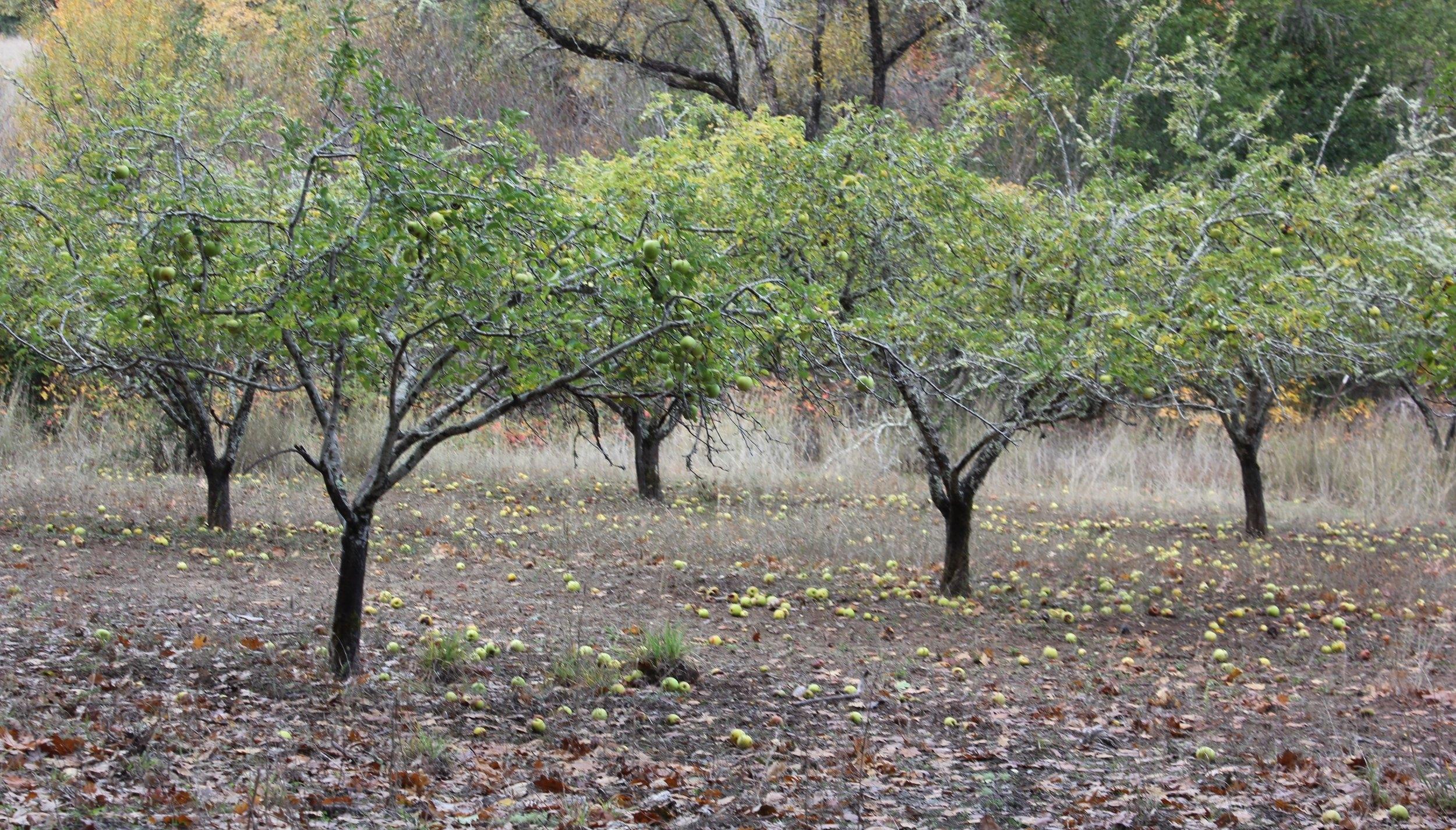 orchard 1.jpg