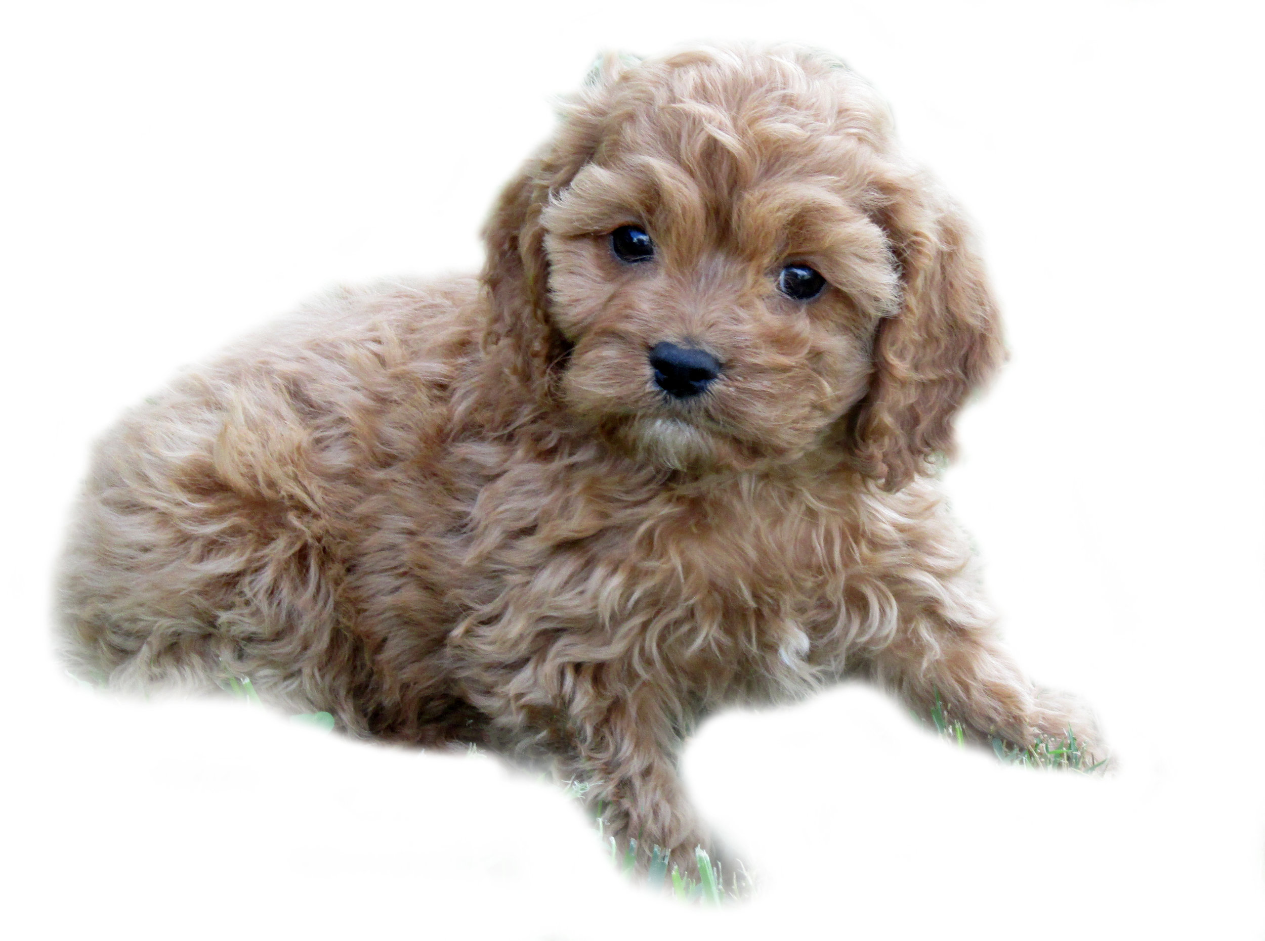 Best Cavapoo Breeders