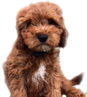 Red Cavapoo