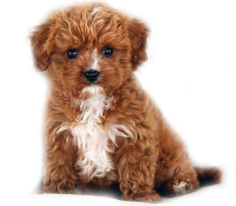 Red-white Cavapoo