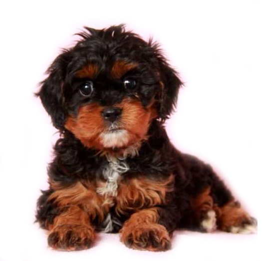 Tri-color Cavapoo