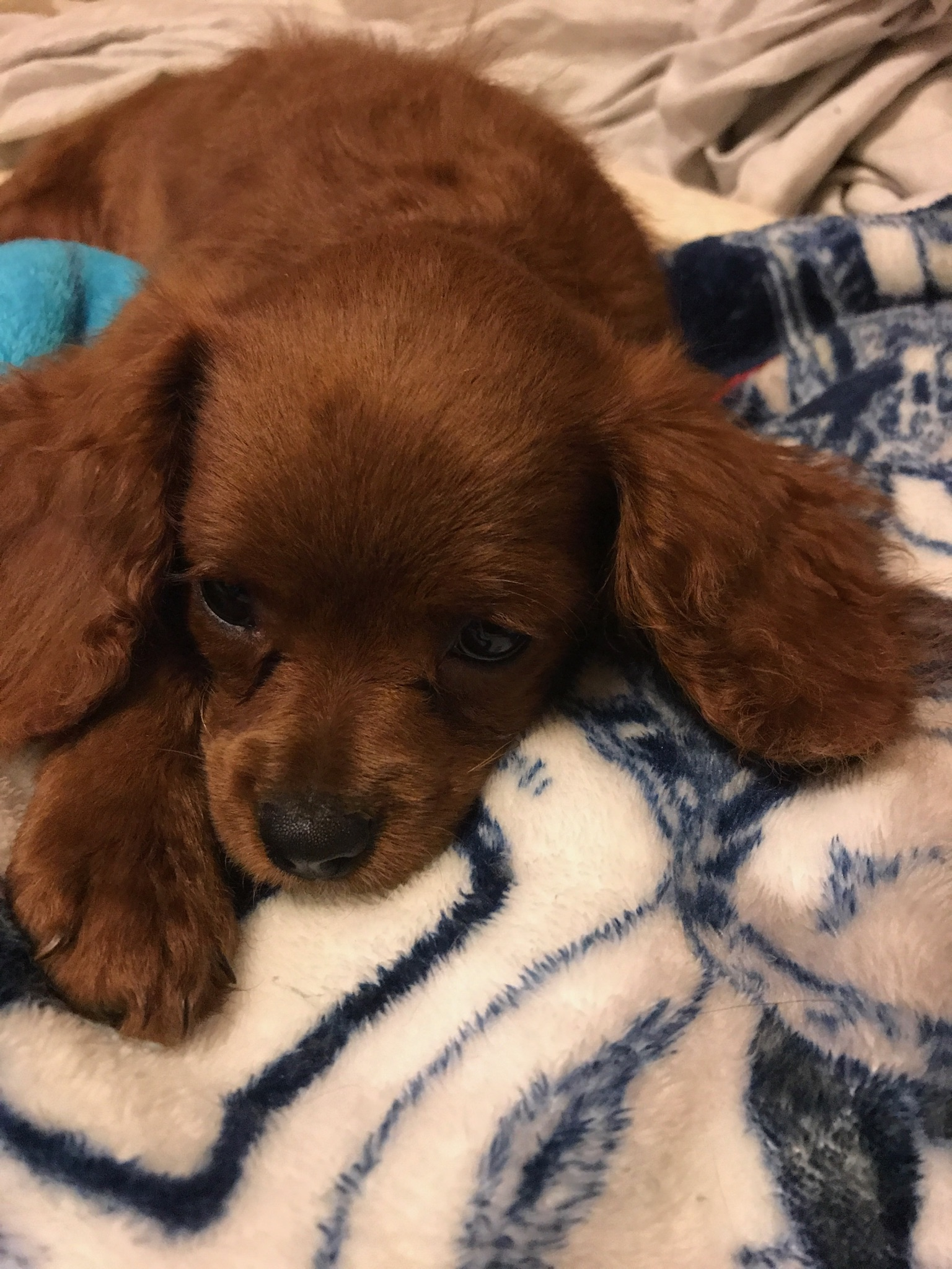 red-cavapoo-pup