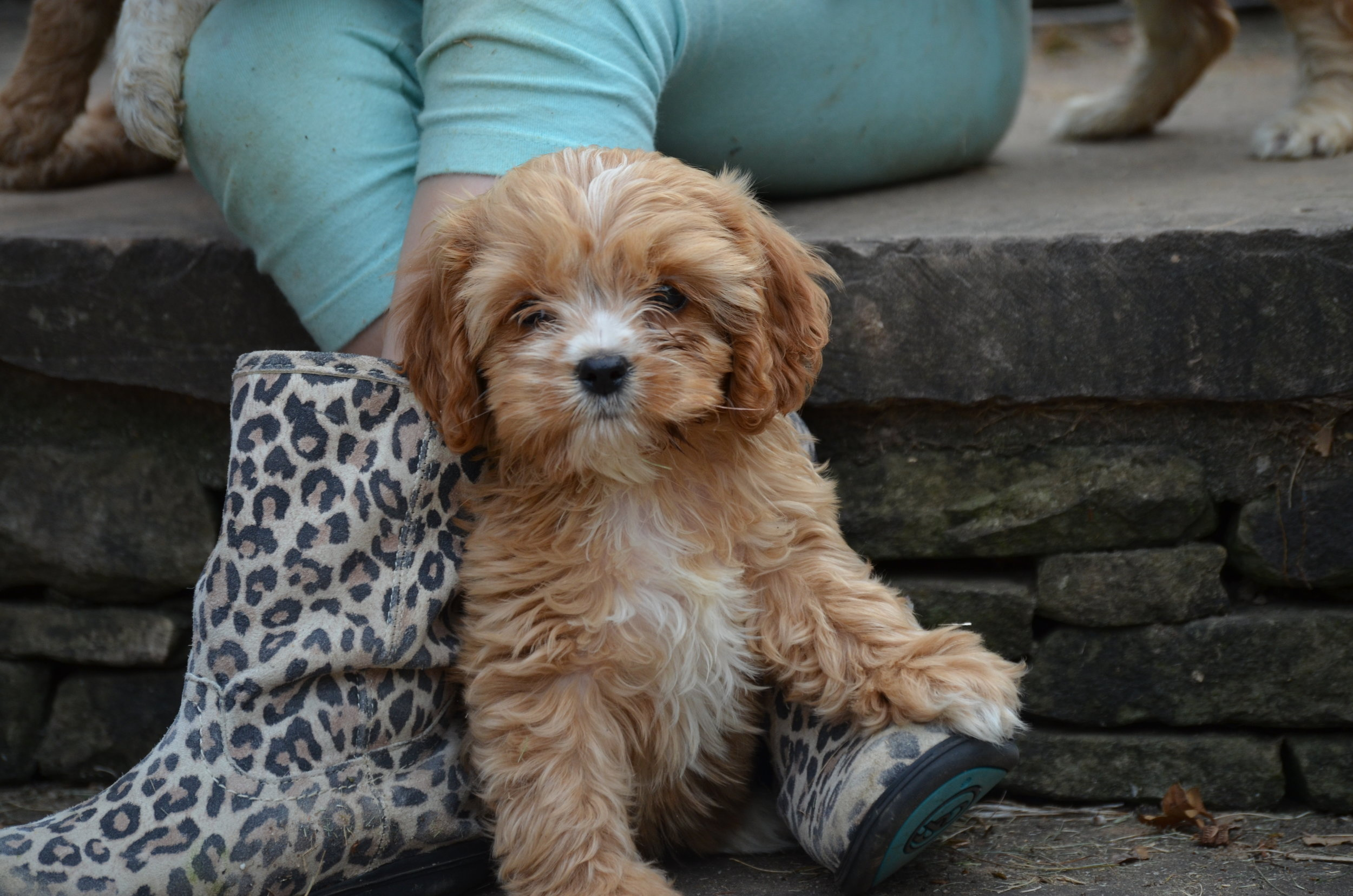 red-Cavapoo-puppy (1).JPG