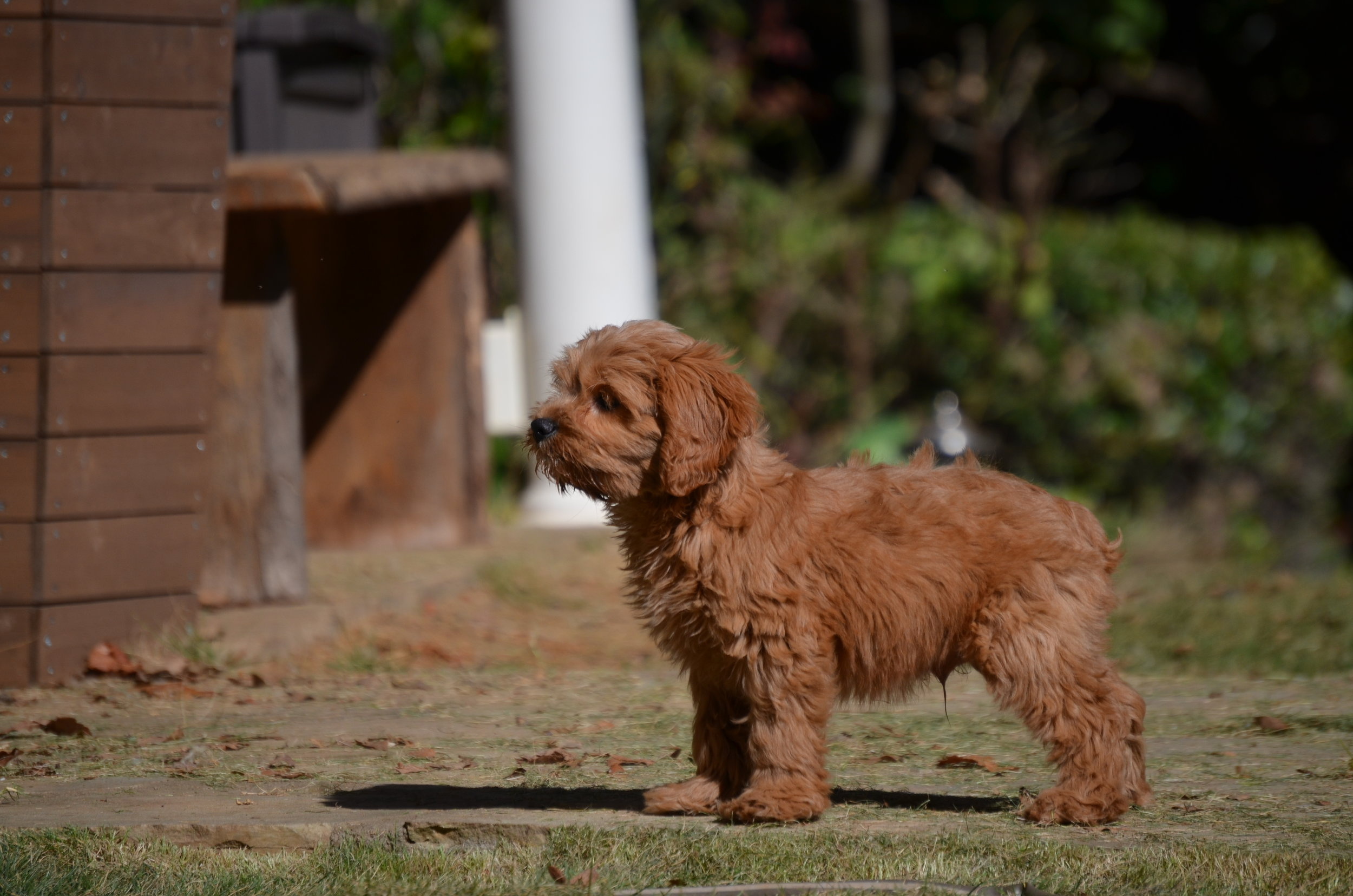 red-Cavapoo-puppy (8).JPG