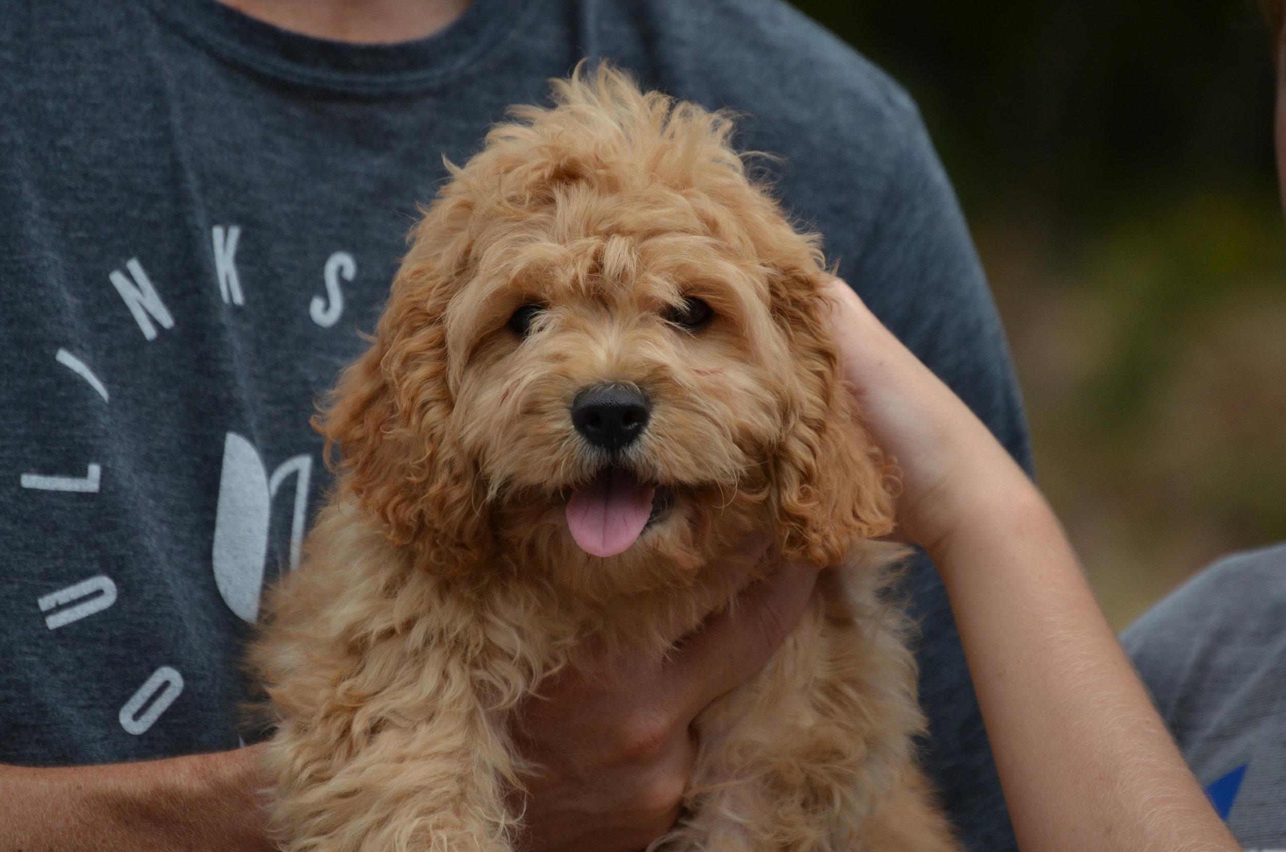 red-Cavapoo-puppy (51).JPG