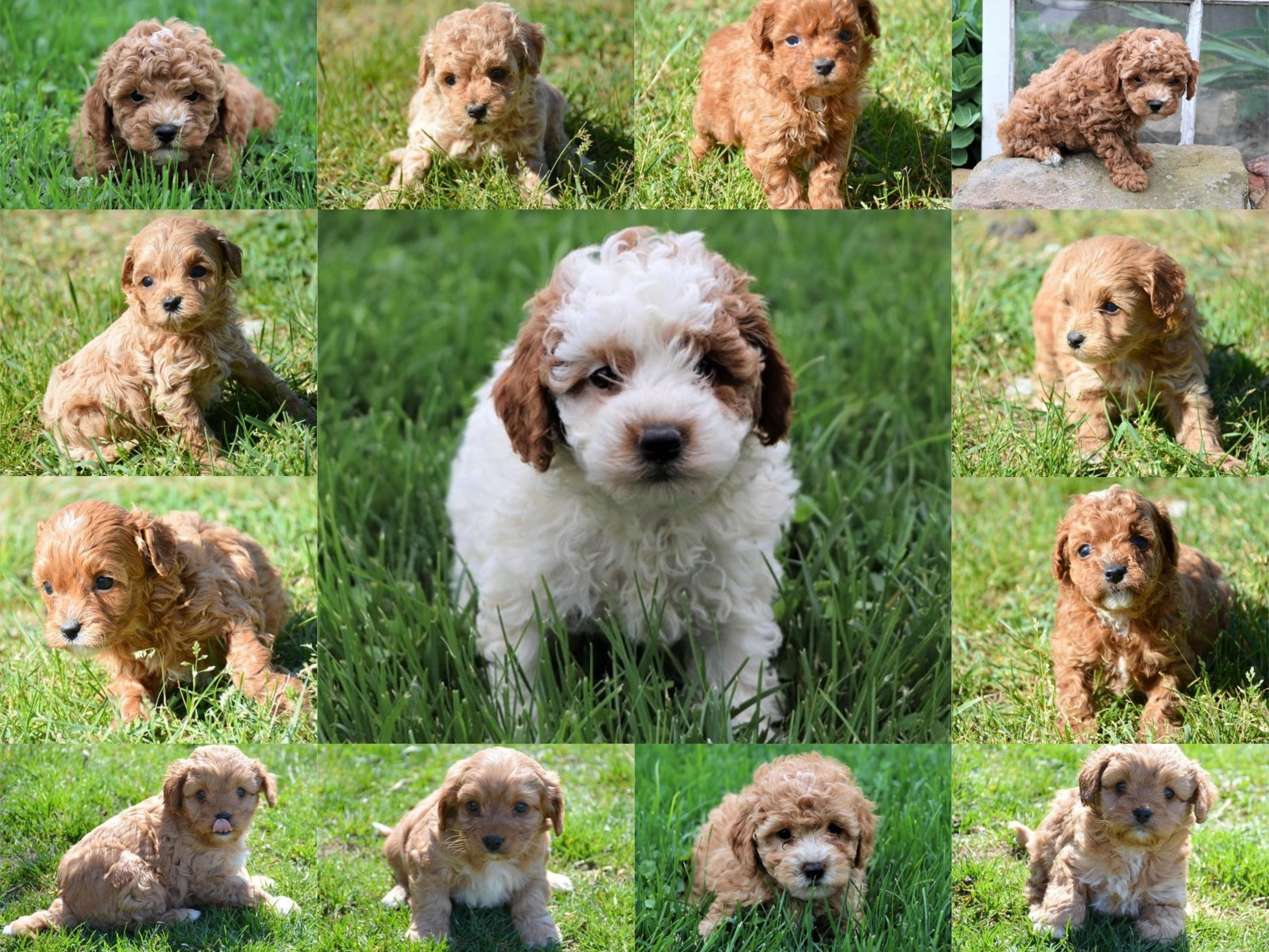 Crockett-Doodles-Cavapoo-collage.jpg
