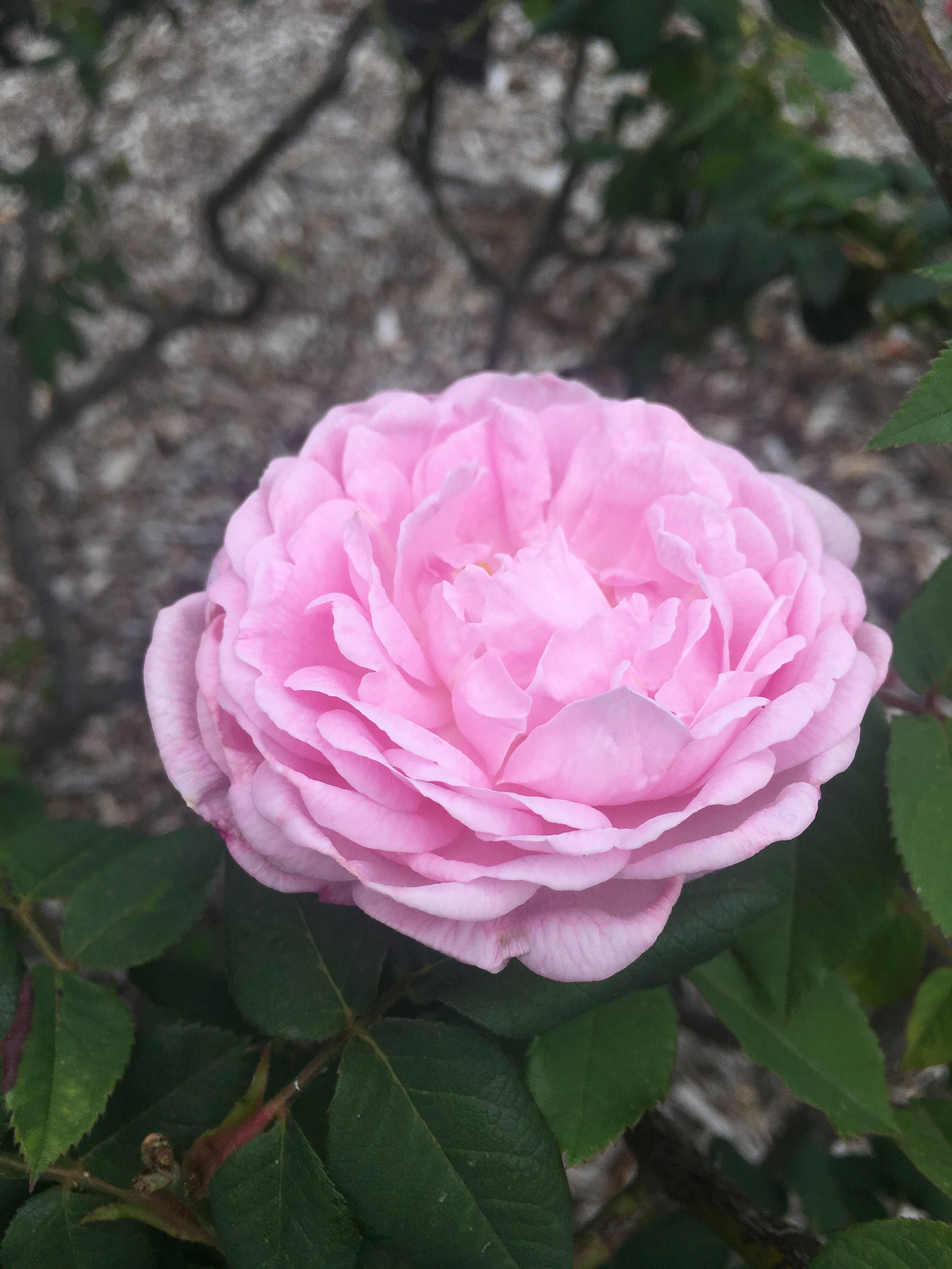 It's easy to see why Joséphine loved roses so much. Not only is it beautiful it smelt so rich and sweet too!