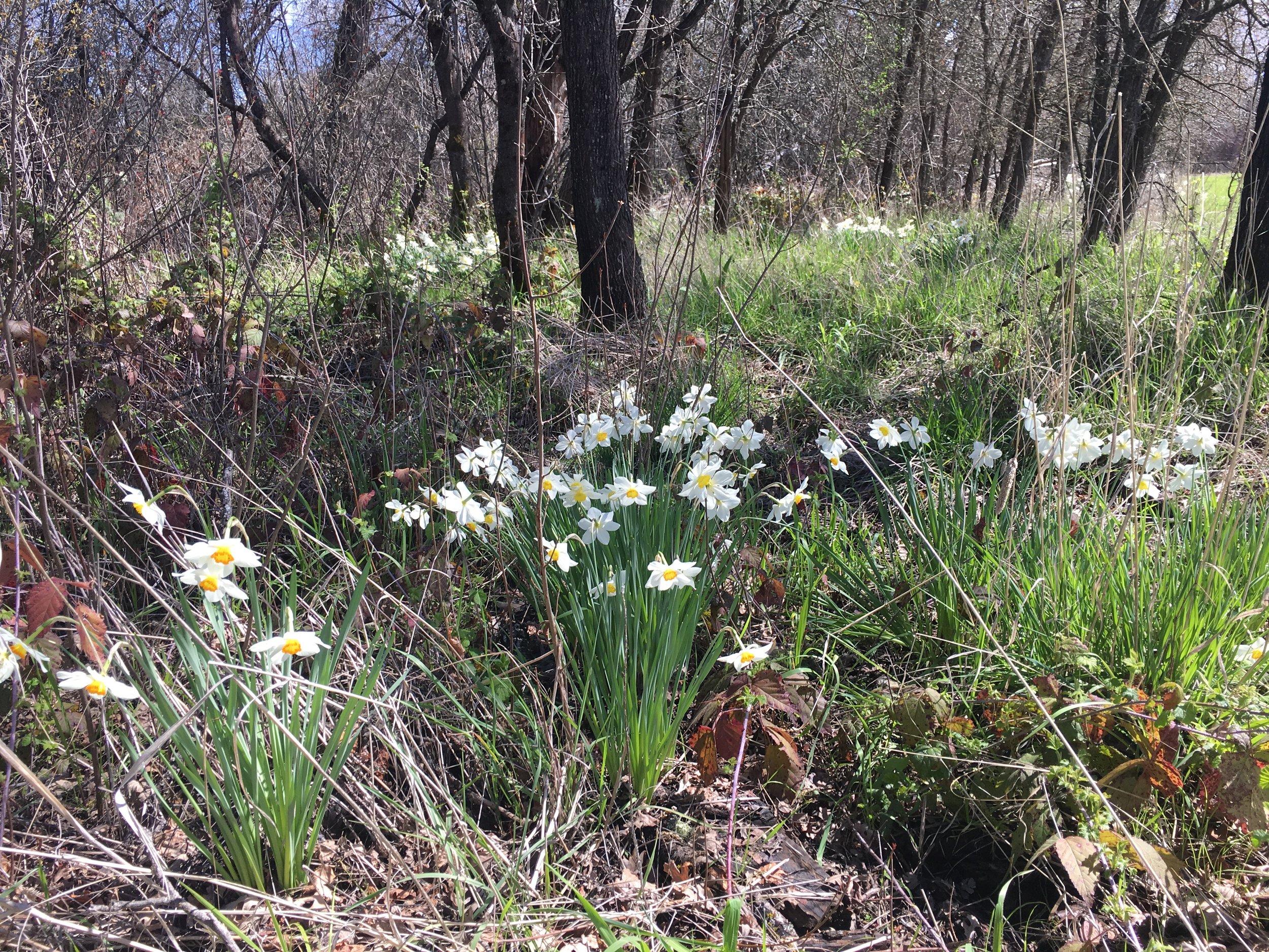 Spring Daffodils.jpg