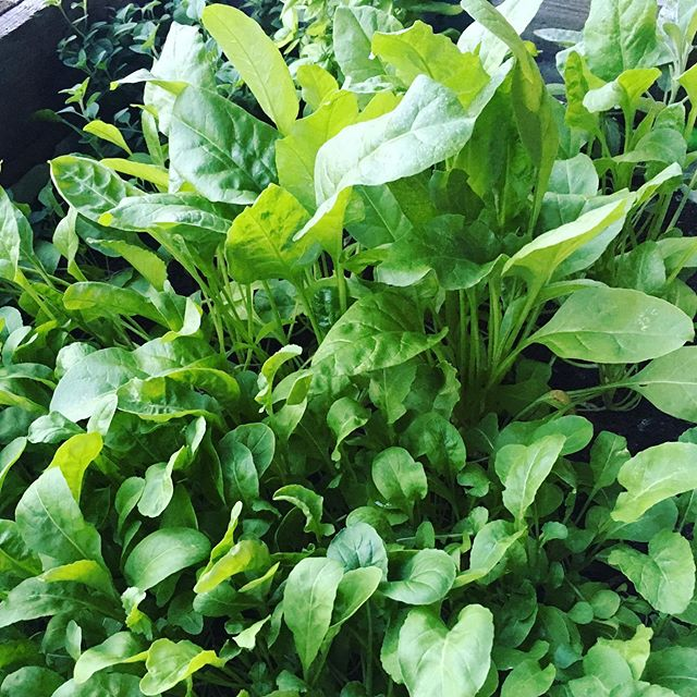 Spinach, rocket and a few herbs, planted on my balcony last spring and still going strong... doesn't get more fresh and local than this