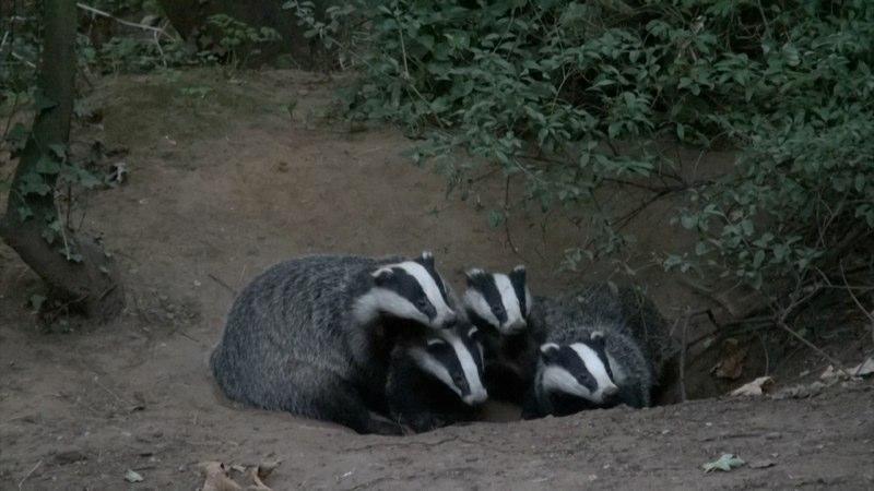 Badger 4.jpg