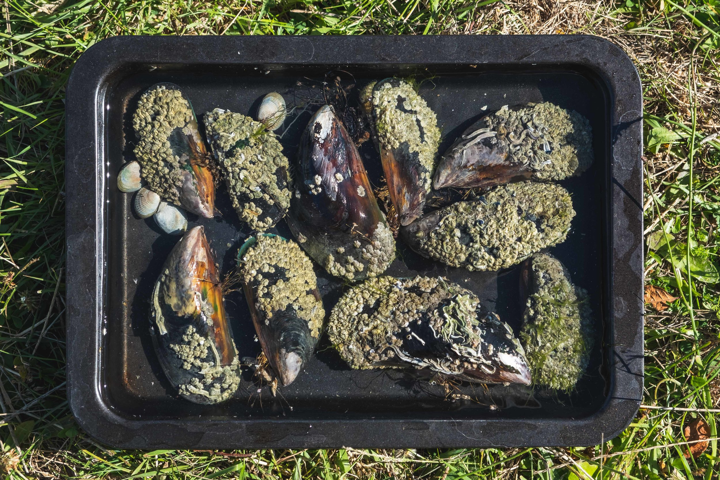 HUGE mussels we painfully found! This is a 9x13 pan for reference