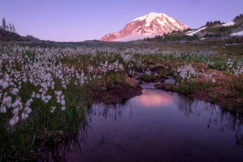 Cottongrass fills a meadow beneath Mount Rainier at sunset.