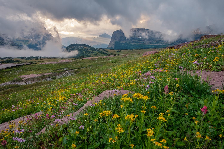 Flowers above Logan Pass, Glacier National Park, MT.