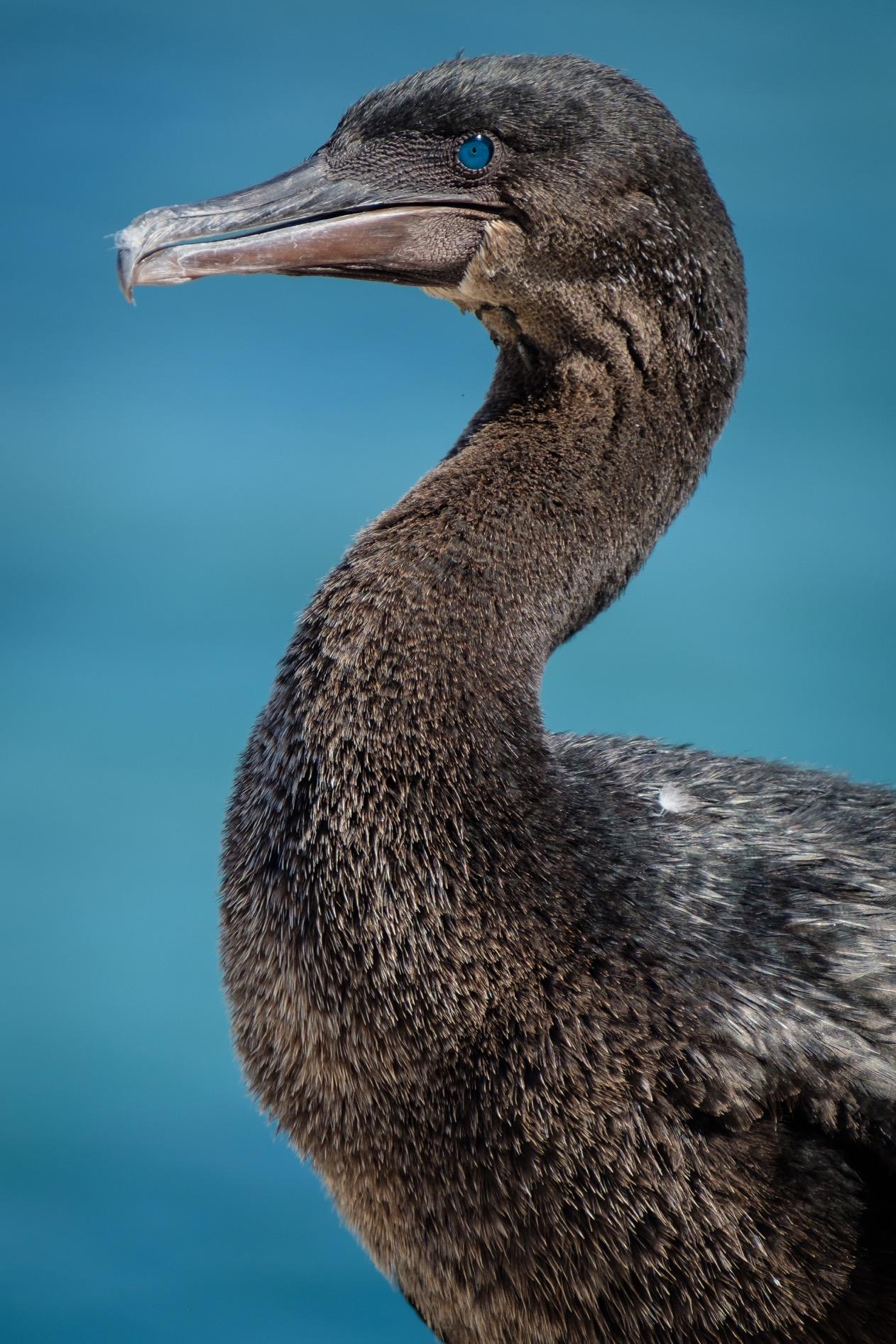 A Flightless Cormorant on Isla Isabela.