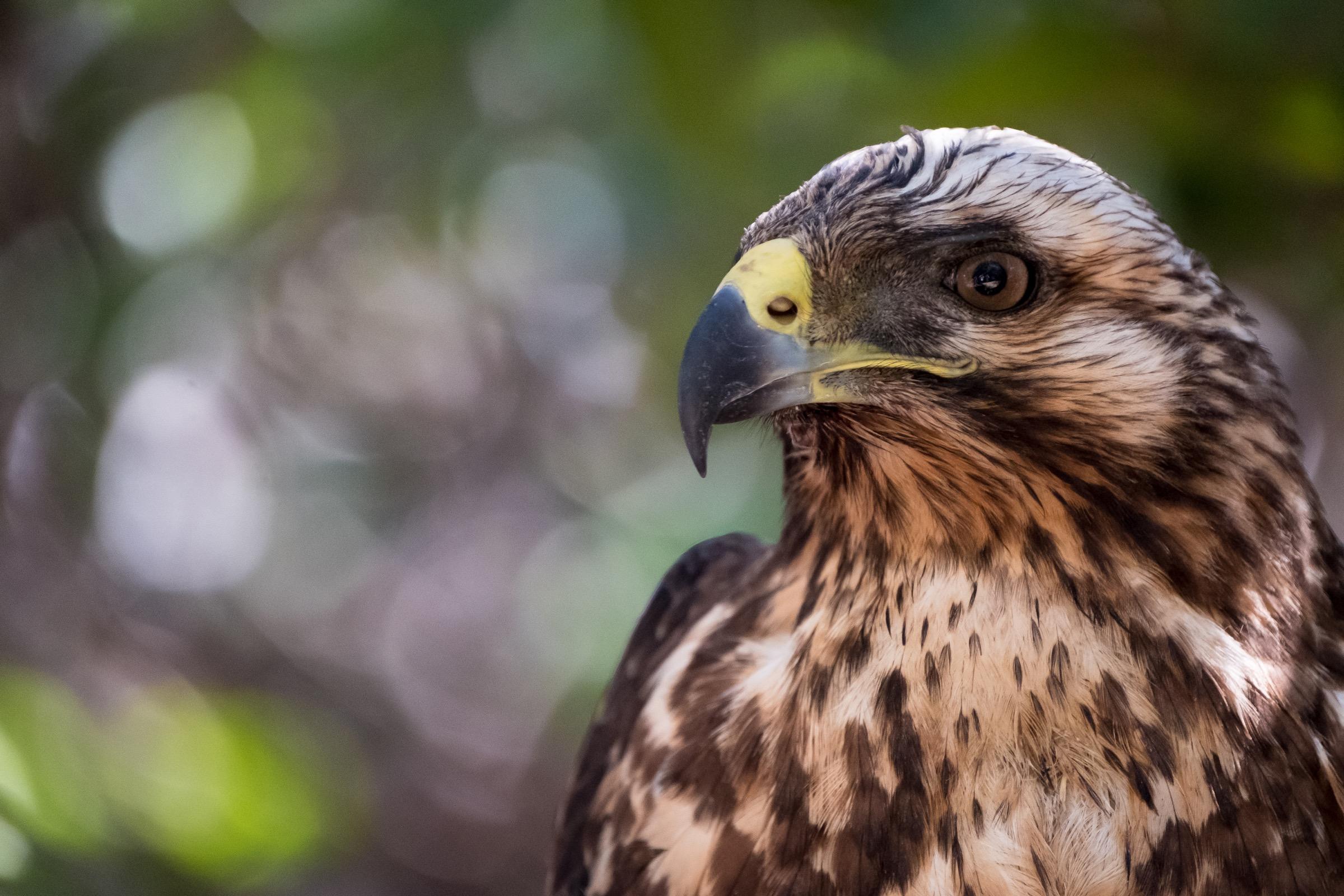 A Galapagos Hawk on Isla Fernandina.