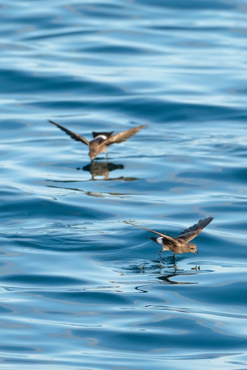 """These White-vented Storm-petrels seemed to """"jump"""" on the water near our boat at dawn."""