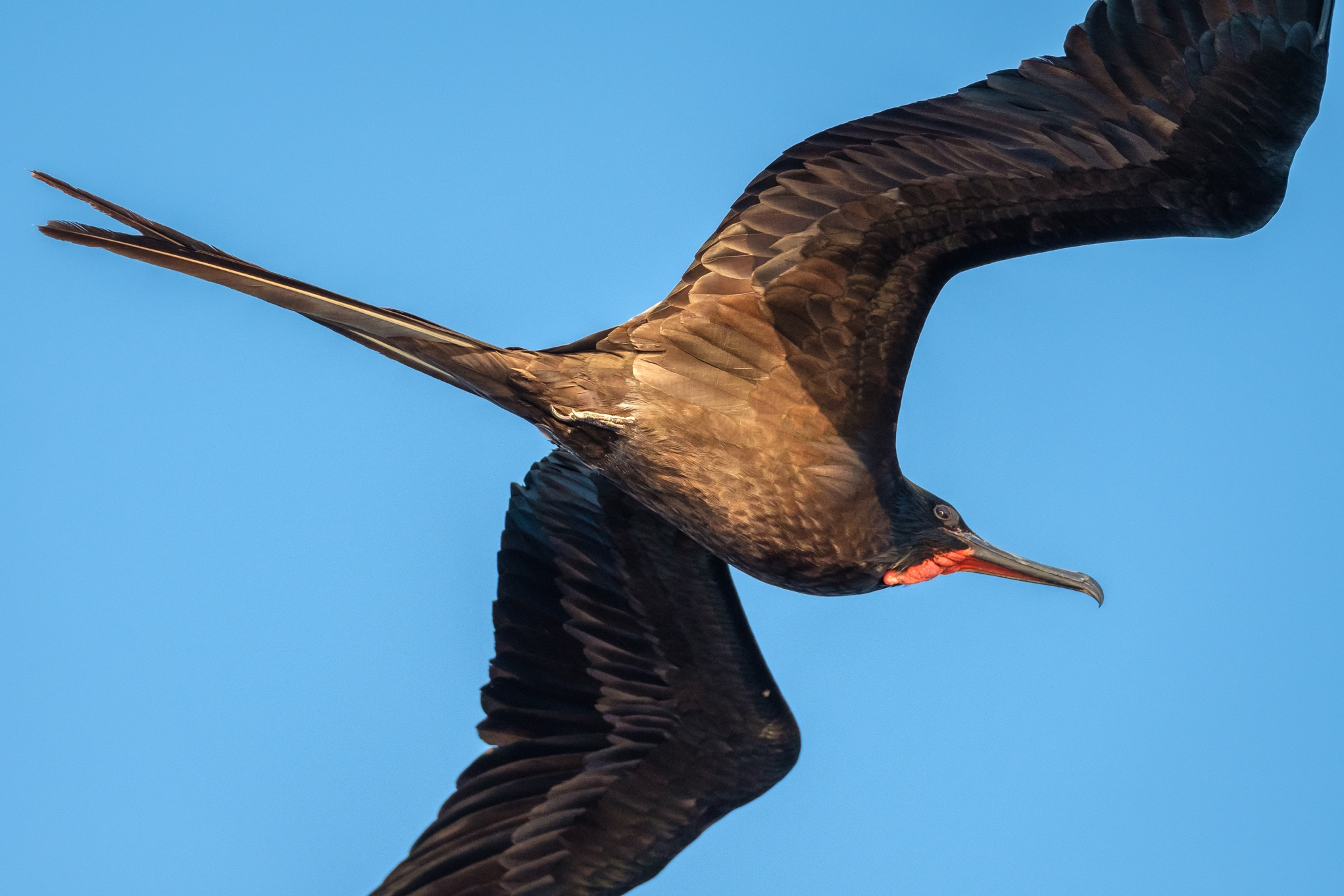 At dusk, this male frigatebird coasted near the mast of our boat for hours.
