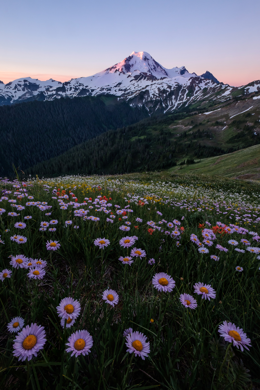 Alpine Asters beneath Baker and the Black Buttes at sunrise.