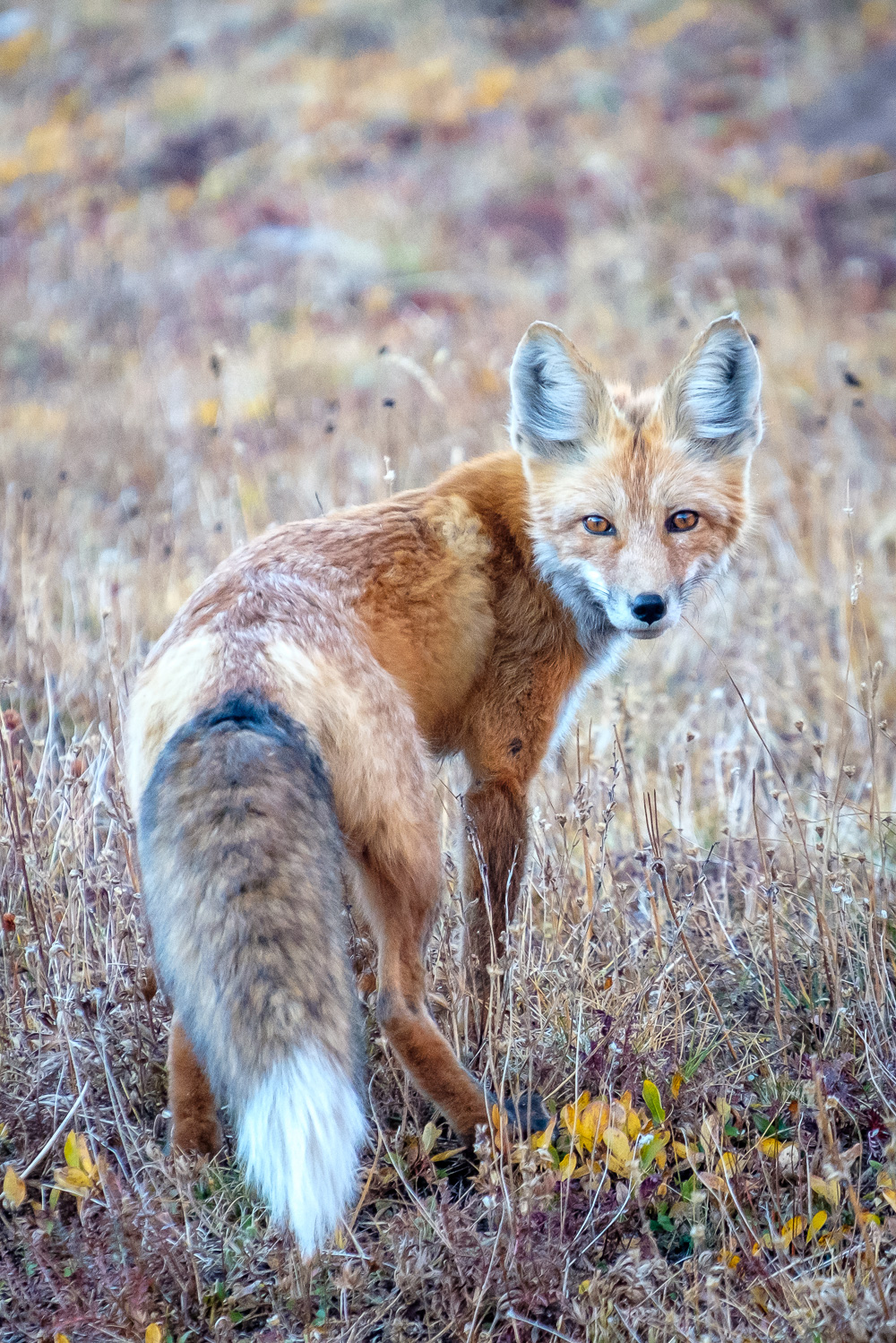 Eric spotted this gorgeous fox at our camp above Snowmass Lake