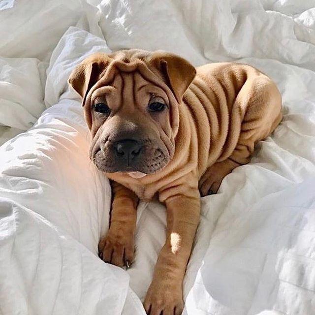 Wrinkles for the Win 🐾 . . . . . #dogsofinstagram #dog #dogstagram #goldendoodle #wellhappykind #dogphotographer #puppies #puppiesofinstagram #furbaby #furbabies #eatwell #sundayfunday #sundayvibes #naptime #dogs_of_instagram #bestfriend