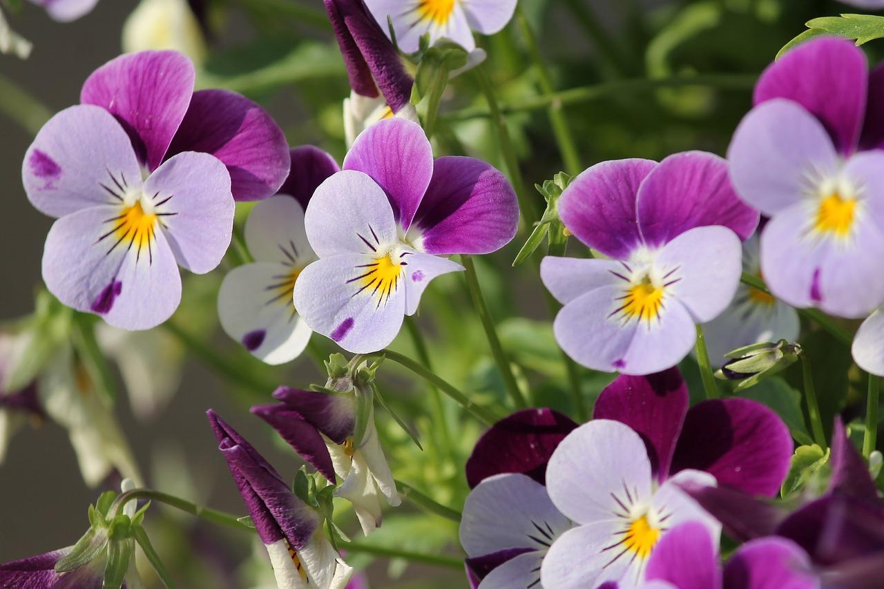 pansy-spring-gardening-reston-farm-market-va.jpg