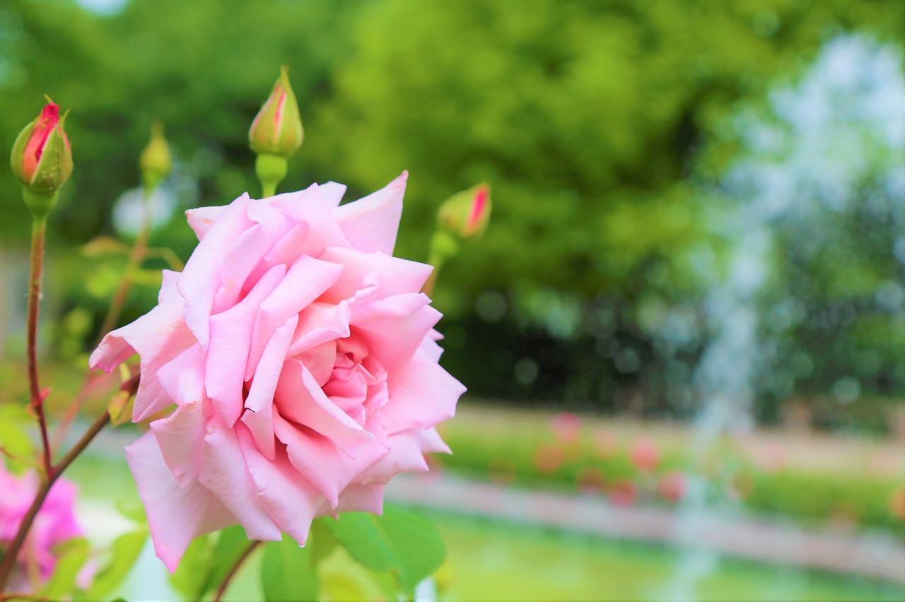 roses-garden-reston-farm-market-va-special.jpg